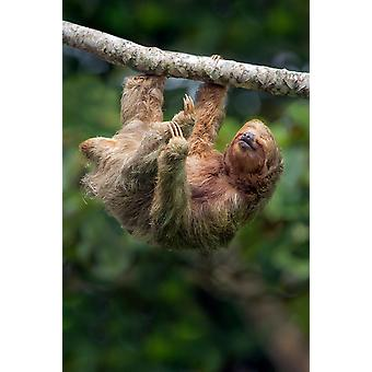 Sloth hanging on branch