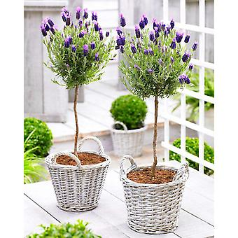 Pair of Beautiful French Lavender Mini Trees with BASKETS