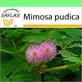 Saflax - Garden to Go - 70 seeds - Sensitive Plant - Mimosa pudique - Sensitiva - Sensitiva - Echte Mimose