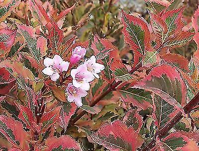 Weigela florida Magical Rainbow - Plant in 9cm Pot
