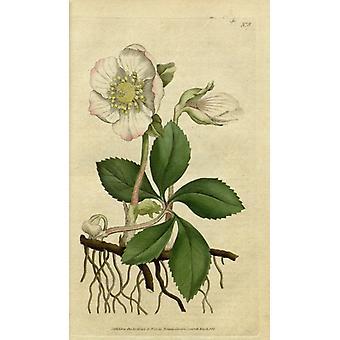 Botanical Print Of White Flower Poster Print (18 x 24)