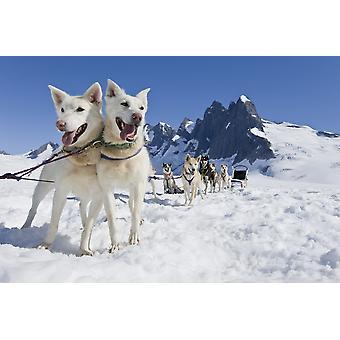 Slede honden Team staande op de Juneau ijs FieldNthe granieten torens van Mendenhall torens kan zijn gezien In de zomer van de afstand In Zuidoost Alaska digitaal gewijzigd PosterPrint