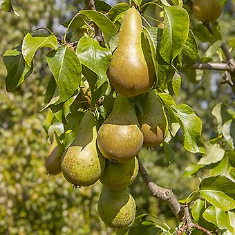 Conference Pear Patio Fruit Tree in a 5L Pot 1.2m Tall