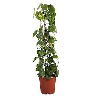 Keuze van Green - 1 Philodendron Scandens - Philodendron