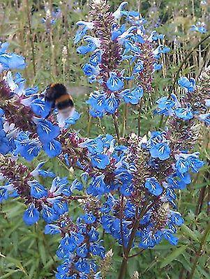 Salvia uliginosa - Bog Sage - Plant in 9cm Pot