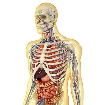 Transparante menselijk lichaam met inwendige organen zenuwstelsel lymfestelsel en bloedsomloop Poster Print