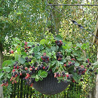 Blackberry Black Cascade 9cm Trailing Fruit Bush