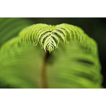 Hawaii Big Island Closeup Of Hapuu Fern (Tree Fern) Tip PosterPrint