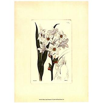 White Curtis Botanical I Poster Print by Vision studio (10 x 13)