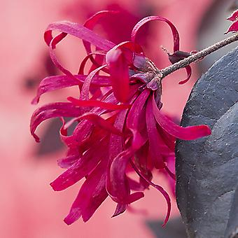 Loropetalum 'EverRed' Chinese Witch Hazel Plant in a 2L Pot Established