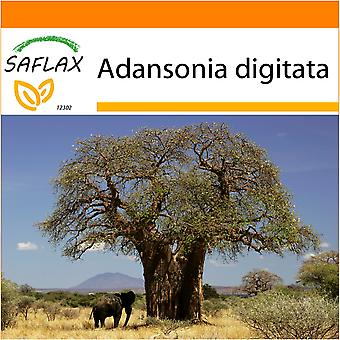 Saflax - Garden in the Bag - 6 seeds - African Monkey Bread Tree - Baobab africain - Baobab africano -  Árbol del pan del mono - Afrikanischer Affenbrotbaum