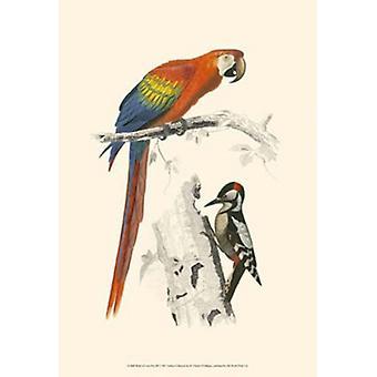 Vogels van Costa Rica III Poster Print by C Dorbigney (13 x 19)
