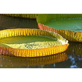 Виктория амазонская водяная лилия лист Маврикий плакат печати Стюарт Уэстморленд