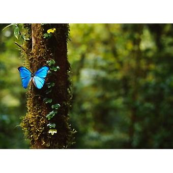 Blue Morpho Butterfly Costa Rica Poster Print by Panoramic Images (17 x 12)