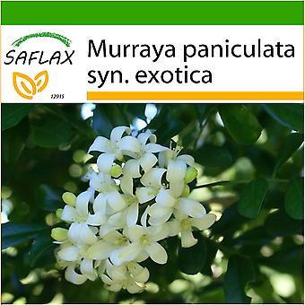 Saflax - 12 seeds - With soil - Orange Jasmin - Oranger jasmin - Murraya - Naranjo jazmín - Orangen - Jasmin
