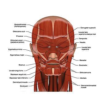 Mięśnie twarzy ludzkiej głowy (8 x 10) Poster Print (8 x 10)