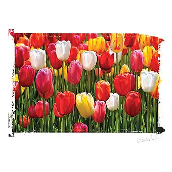 Artist Series Photo Card W/Envelope-Tulips C0003E