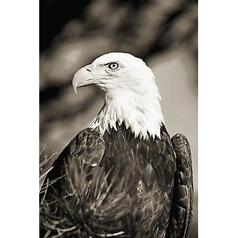 Colorado Close-up of Bald Eagle sitting in ponderosa pine tree with head turned (black and white photograph) PosterPrint