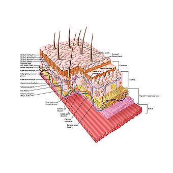 Anatomy of the human skin Poster Print