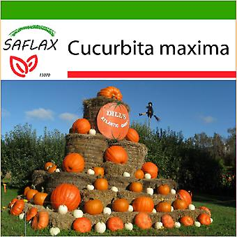 Saflax - 7 seeds - With soil - Pumpkin - Atlantic Giant - Potiron - Atlantic Giant - Zucca gigante  - Calabaza Atlantic Giant - Kürbis - Atlantic Giant