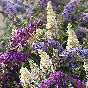Buddleia Tricolour Butterfly Bush 3 Colours in 1 Pink White Blue in a 2L Pot