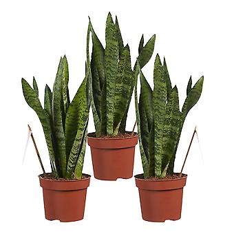 Choice of Green - 1 Sanseveria zeylanica in other words Female Tongue