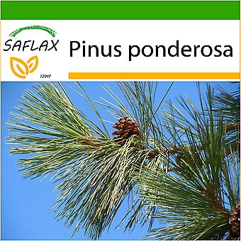 Saflax - 20 seeds - With soil - Ponderosa Pine - Pin ponderosa - Pino giallo - Pino amarillo occidental - Goldkiefer