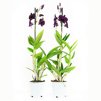 Botanicly - Orchids | 2 × Bamboo orchid purple | Height: 60 cm | Dendrobium Sa-Nook
