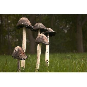 Pilze mit hohen Stängel wächst In die Grass Northumberland England PosterPrint