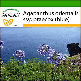 Saflax - 50 seeds - With soil - African Lily - Agapanthe - Agapanto - Flor del amor - Schmucklilie / Liebesbaum
