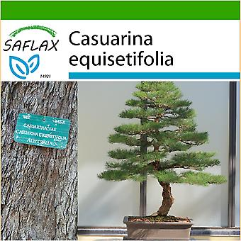 Saflax - 200 seeds - With soil - Bonsai - Sea Ironwood - Filao - Casuarina comune - Pino australiano - B - Australische Strandkiefer