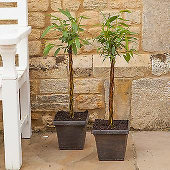 Pair Plaited Willow Wand 50cm Half standards in 7' metallic planters