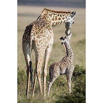 Masai giraffe (Giraffa camelopardalis tippelskirchi) with its calf Masai Mara National Reserve Kenya Poster Print by Panoramic Images (16 x 24)