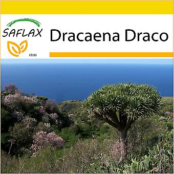 Saflax - Potting Set - 5 seeds - Dragon Tree - Dragonnier des Canaries - Albero del drago - Drago de Canarias - Drachenbaum