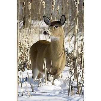 White-Tailed Deer In A Snow-Covered Corn Field Boucherville Islands Park Quebec PosterPrint