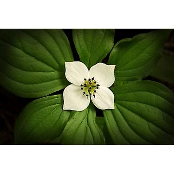 Close-Up Dwarf Dogwood Flower In Full Bloom Alaska PosterPrint