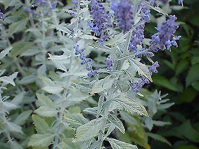 Perovskia atriplicifolia Silvery Blue - Russian Sage, Plant in 9cm Pot