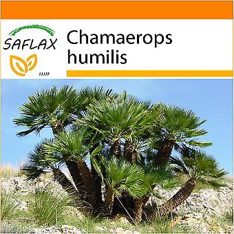 Saflax - Garden in the Bag - 10 seeds - Dwarf Fan Palm - Palmier nain - Palma nana - Palma enana - Zwergpalme