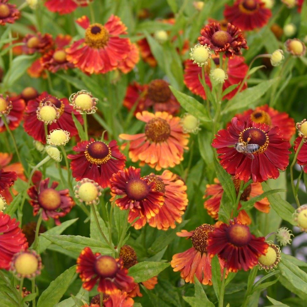 Helenium autumnale Indian Summer - Sneezeweed, Plant in 9cm Pots