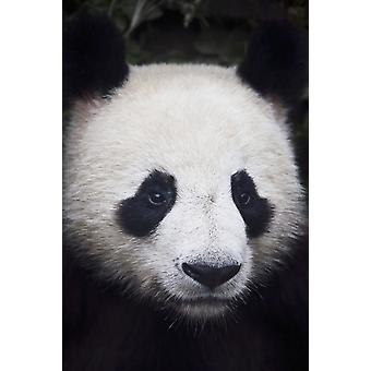 Porträtt av panda (ailuropoda melanoleuca) Kina PosterPrint