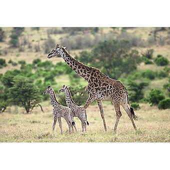 Giraffe family Poster Print by Patrick Hoenderkamp