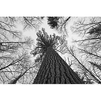 Black And White Image Of A Large White Pine In Algonquin Park Ontario PosterPrint