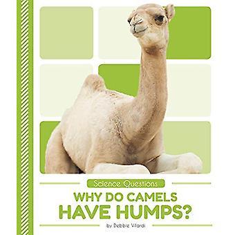 Pourquoi les chameaux ont bosses?