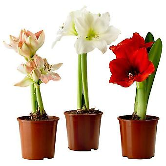 Potted Amaryllis - Pack of 3 Assorted varieties - Ideal Home Decor