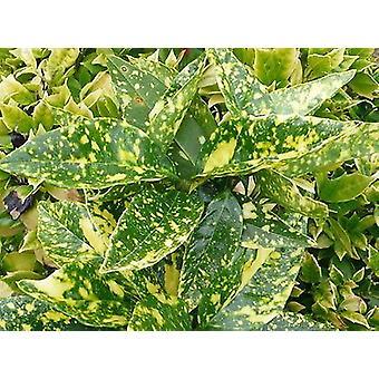 Aucuba japonica Crotonifolia - Spotted Laurel - Plant in 9cm Pot