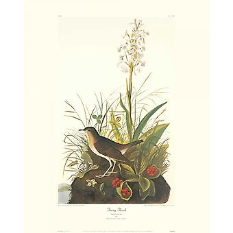 Tawny Thrush Poster Print by John James Audubon