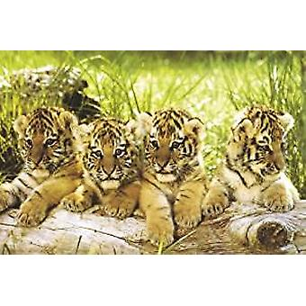 Poster - Four Tiger Cubs - 24