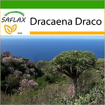 Saflax - 5 seeds - With soil - Dragon Tree - Dragonnier des Canaries - Albero del drago - Drago de Canarias - Drachenbaum