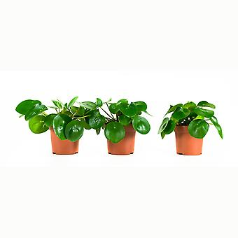 3  ×  Indoor Plant – Chinese money plant | Height: 22 cm | Pilea peperomioides