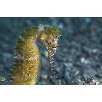 A thorny seahorse uses effective camouflage to blend into its surroundings on the seafloor of Lembeh Strait Indonesia Poster Print